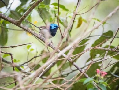 Blue wren(?)